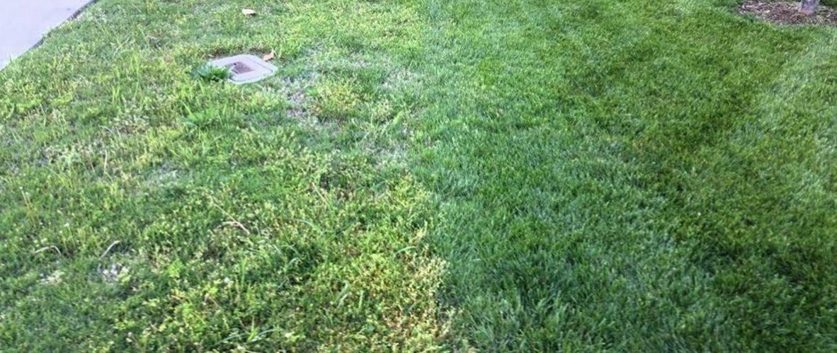 healthy lawn versus weeds
